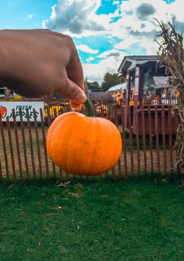 Holding a mini pumpkin against the fall farm background. One of the best fall things to do in NYC is go to a pumpkin patch.